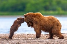 Grizzly Bear Mother And Cub Playing Photo: