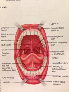Glisson S Capsule Of The Liver Also Known As The