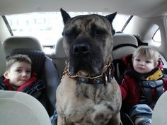 Presa Canario  therapy dog, and her boys!