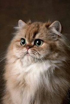 If i ever own a cat this would be it......Beautiful golden Persian cat!!