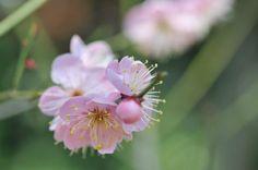 Ume flower  Facebook