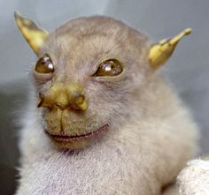 a tube-nosed fruit bat who looks like a golden gremlin. WHO KNEW!?