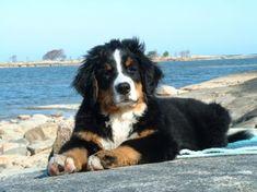 Cutest Berner Sennen puppy! <3
