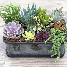 40 Amazing Succulents Garden Decor Ideas Succulents are perfect plants for dry gardens and are easy to root and grow. Once you learn how easy it […]***These succulents are tender soft succulents- meaning they will not tolerate frost. In fact, most