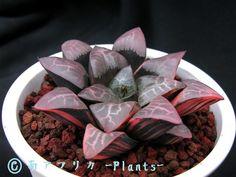 コレクタ錦 南アフリカ -Plants-