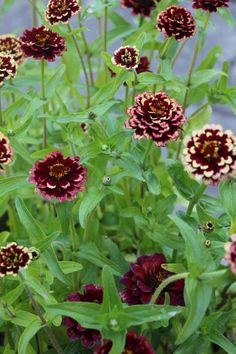 Pretty Late Summer  Early Autumn Sowing Of Hardy Annual Flower Seeds  With Glamorous Zinnia Aztec Burgundy Bicolor  Google Search With Astounding The White Swan Covent Garden Also Summerfields Garden Centre In Addition Water Garden Direct And Garden Rooms Dumfries As Well As Garden Stoneware Additionally The Secret Garden Cafe Truro From Pinterestcom With   Glamorous Late Summer  Early Autumn Sowing Of Hardy Annual Flower Seeds  With Astounding Zinnia Aztec Burgundy Bicolor  Google Search And Pretty The White Swan Covent Garden Also Summerfields Garden Centre In Addition Water Garden Direct From Pinterestcom