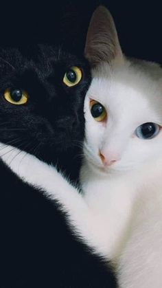 These cute kittens will make you happy. Cats are incredible companions. Cute Cats And Kittens, Cool Cats, Kittens Cutest, Siamese Kittens, Tabby Cats, Bengal Cats, Pretty Cats, Beautiful Cats, Animals Beautiful