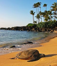Laniakea beach - also known as turtle beach - on the north shore