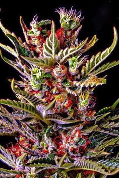 colorful weed