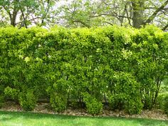 Ezeket is ültesd tuja helyett Herbs, Plants, Gardening, Autumn, Garden Walls, Gardens, Fall Season, Lawn And Garden, Herb