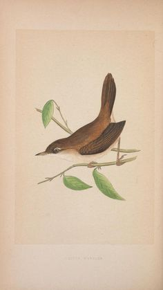 Cetti's Warbler. Plate from 'A History of the Birds of Europe, Not Observed in the British Isles' by Charles Robert Bree. Published by Groombridge & Sons (1859). Biodiversity Heritage Libraryarchive.org