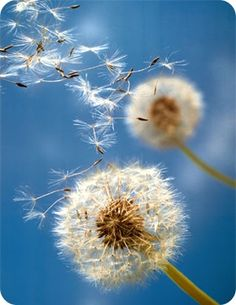 Some See a Weed, I See a Wish!