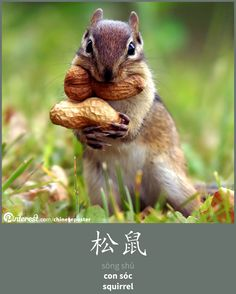 松鼠 - sōngshǔ - con sóc - squirrel