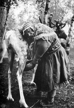 Sami woman milking a reindeer cow. Sami woman milking a reindeer cow. Antique Photos, Old Photos, Black And White People, Primitive Survival, National Art, My Heritage, Vintage Photography, Reindeer, Scandinavian