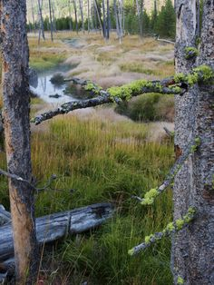 Dead Trees in a Meadow with a Small Stream, Yosemite