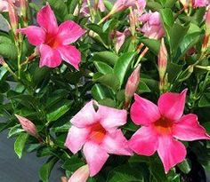 Tips for growing Mandevilla plant in a container. Find out how to coax Mandevilla flowers year after year. Get tips for training Mandevilla vine on a trellis.