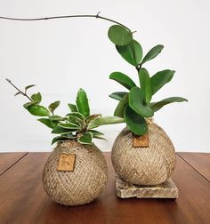 Sharing my two Hoya Kokedama for 🌱 . Plant Art, Plant Decor, Hanging Plants, Indoor Plants, Air Plants, String Garden, Good Vibe, Over The Garden Wall, Tropical Garden