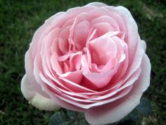 Aphrodite by Alexandra Farms  Garden Rose Varieties