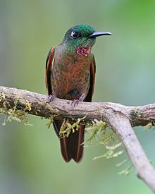 The Fawn-breasted Brilliant (Heliodoxa rubinoides) is a species of hummingbird. It is native to South America, where it occurs in Bolivia, Colombia, Ecuador, and Peru