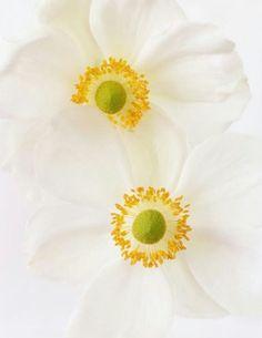 Macro Flower, Anemone Flower, My Flower, Flower Art, Giving Flowers, White Flowers, Beautiful Flowers, Japanese Anemone, Ron