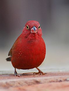 The Red-billed Firefinch or Senegal Firefinch (Lagonosticta senegala) is a small passerine bird. This estrildid finch is a resident breeding bird in most of sub-Saharan Africa with an estimated global extent of occurrence of 10,000,000 km². by jvverde, via Flickr