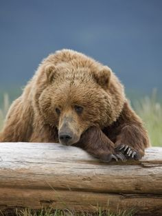 Grizzly Bear Resting on Log at Hallo Bay Fotodruck von Paul Souders bei AllPosters.de