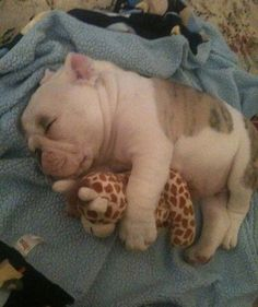 In case you haven't seen a puppy sleeping with a giraffe plush yet…
