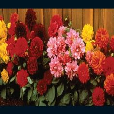 Unwin's Mix - Dhalia    Unwin's Mix - Dahlia    FL300  1 Review(s)   Add Your Review    (Dahlia hybrida) Colorful mix of rose, orange, yellow, crimson, purple and brick red. Single and semidouble flowers, produce a popular garden flower.     Contains 75     Rare seeds.com