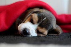 Beagle Sleep