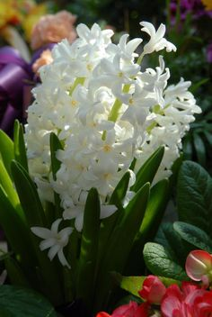 White Hyacinth - Hyacinths can supposedly be propagated with leaf clippings and rooting hormone.