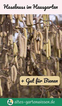Haselnuss im Hausgarten   altes-gartenwissen.de #Garten #Bienen #Haselnuss #Nutzgarten #hausgarten