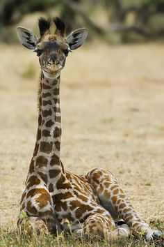 Masai Giraffe Calf (Giraffa camelopardalis tippelskirchi) (by Rick Wylie) :) Giraffe Pictures, Animal Pictures, Cute Pictures, Cute Baby Animals, Animals And Pets, Wild Animals, Beautiful Creatures, Animals Beautiful, Cute Giraffe