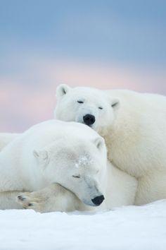 Polar bears + pink skies.