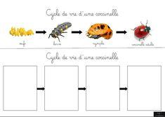 Le cycle de vie de la coccinelle - Un de plus ! Montessori Science, Primary Science, Primary Education, Science Activities, Activities For Kids, Petite Section, High Pictures, Math For Kids, Cycle