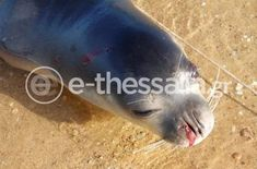 Φρίκη στον Παγασητικό: Εντοπίστηκε νεκρή φώκια με τραύματα από όπλο (ΕΙΚΟΝΑ ΣΟΚ) – Makeleio.gr Animals, Animales, Animaux, Animal, Animais