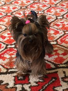Biewer Yorkie, Yorkie Puppies, Teacup Yorkie, Pretty Animals, Cute Animals, Yorkie Haircuts, Yorshire Terrier, Yorkshire Terrier Puppies, Puppy Party