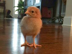 Growing Chickens...SO fun! http://mamatartathisfeet.blogspot.com/2014/03/chickens.html