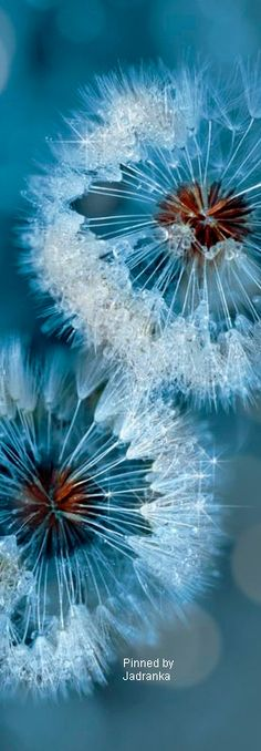 Frosty blue dandelion wallpaper – Famous Last Words Dandelion Wallpaper, Flower Wallpaper, Foto Macro, Montage Photo, Macro Photography, Belle Photo, Pretty Pictures, Mother Nature, Beautiful Flowers