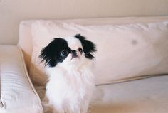 My second favorite dog breed is the Japanese chin :) I Love Dogs, Puppy Love, Cute Dogs, Toy Puppies, Dogs And Puppies, Toy Dogs, Japanese Chin Puppies, Animals And Pets, Cute Animals