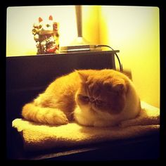 I made a sitting place for exotic shorthair Chester on the desk (he was in the chair again) #catsofinstagram #neko #exoticshorthair #kitty #cat #cats #animals #pet #pets - @chestersmooshyface- #webstagram