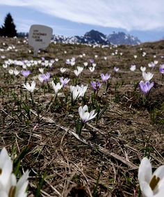 Blütenzauber in den Bergen _ Was für EIN SCHÖNER FLECK ERDE. Bergen, Spring Time, Den, Dandelion, Mountains, Flowers, Plants, Nice Asses, Dandelions