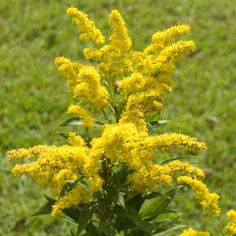 Goldenrod State flower of Kentucky and Nebraska