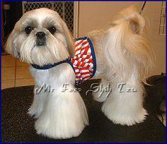 "Shih Tzu~""DREAM""  Am & Int Ch. Tao Regency's American Idol...Pantaloon Cut Hairstyle."