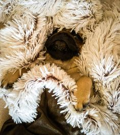 The look that Bubble gave me when I told her that tomorrow is Monday. She's definitely not a Monday dog  #mauricethepug #bubble #queenb #monday #weekend #endofweekend #thatface #thelook #fluffy #blanket #relaxed #chill #hatemonday #notamondaydog #backtowork #pugstory #puglife #pugchat #tirgumures #romania #pug #mops #dog #puppy