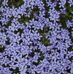 We get more compliments and questions on the Pratia puberula 'Kelsey Blue' (Alpine Creeper) we use in the rock garden than any other plant on display. There will be two new varieties in stock in the nursery at Westport Winery on Saturday. This ground cover has dark blue star-like flowers from May-Sept. Tolerates moderate foot traffic. Good for borders, footpaths, and containers. Full sun-part shade. Ht. 2in. Zone 4. Evergreen....