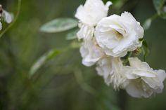 White Rose Like Flower 10 Wide Wallpaper - HdFlowerWallpaper.com