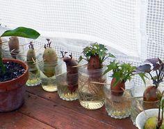 Hajtass édesburgonyát a konyhaablakban. Nem is hiszed, milyen csodaszép növény lesz belőle! - Egy az Egyben