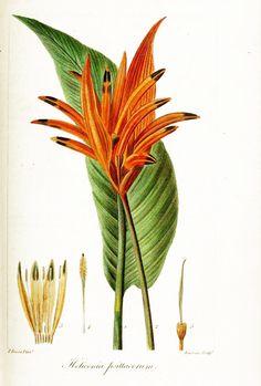 heliconia-psittacorum.jpg (450×667)