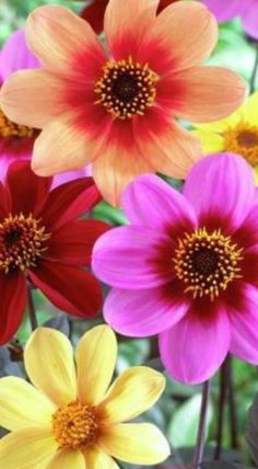 Cosmos Flowers, Flowers For You, Pretty Flowers, Colorful Flowers, Beautiful Flowers Pictures, Beautiful Roses, Flower Images, Flower Pictures, Floral Photography