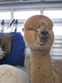 """This is called """"fiber blind""""...or I call it squeezy eye...so much dense fiber it covers their eyes..."""